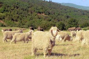 Alpes de Haute Provence troupeau de moutons