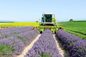 Valensole champs de lavande récolte 2