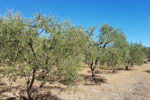 champ-oliviers
